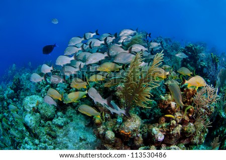 French Grunts in the Coral Reef - stock photo