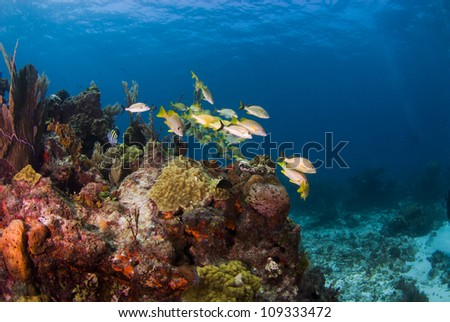 French grunts swimming near the reef in Cancun - stock photo