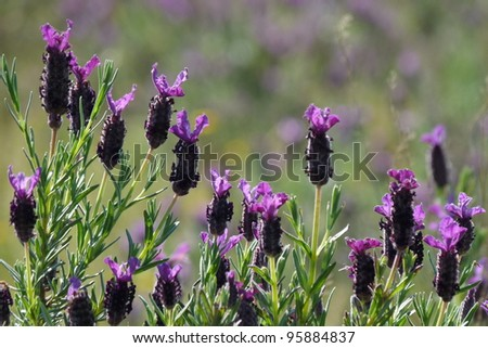 French Lavender, translucent - stock photo