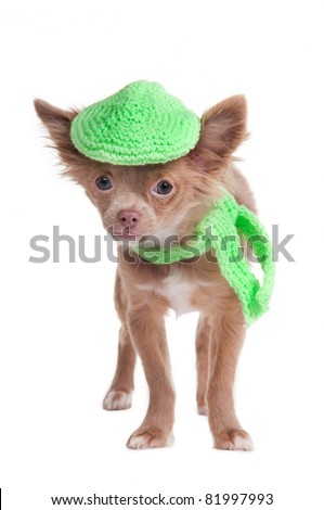 French looking chihuhua puppy with cap and scarf isolated - stock photo