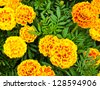 French marigold flower or Tagetes patula - stock photo