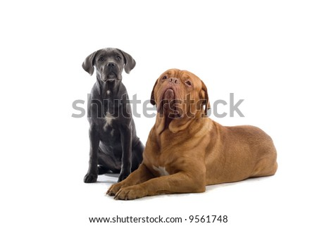 french mastiff and a cane corso pup isolated on a white background