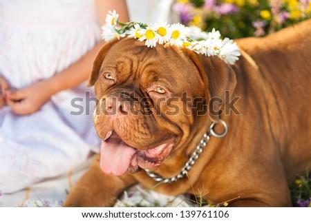 French Mastiff Outside - stock photo