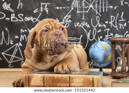 French Mastiff puppy chewing a pencil in front of blackboard  - stock photo