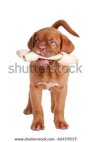 French Mastiff puppy holding Rawhide bone in its mouth, isolated on white background - stock photo