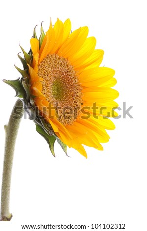 Fresh and beautiful sun flower with copy space on the white background - stock photo