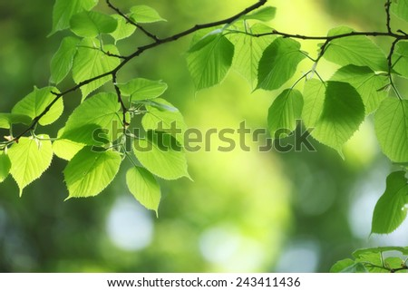 fresh and green leaves in sunny spring day, selective focus - stock photo