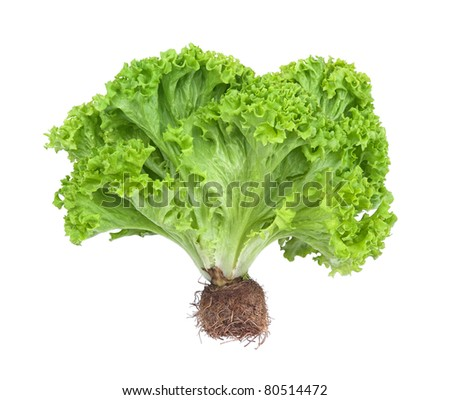 fresh and green lettuce isolated on white background - stock photo