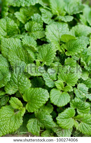 fresh and green mint leafs in garden - stock photo