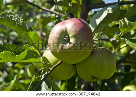 fresh and juicy apples on a branch - stock photo
