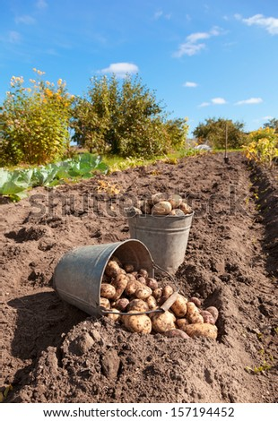 Fresh and raw potato at the field - stock photo
