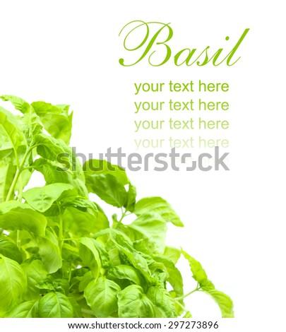fresh and ripe leaf of basil isolated - stock photo