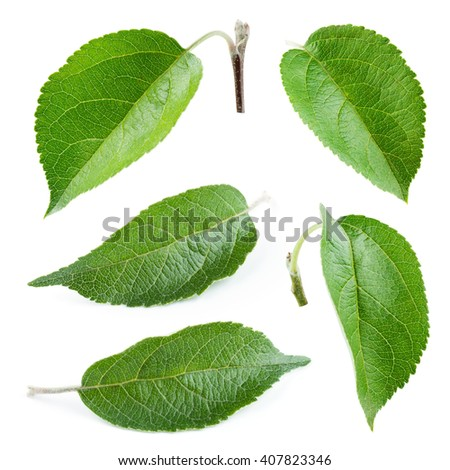 Fresh apple leaf isolated on white. Collection. - stock photo