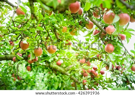 Fresh apples hanging from an apple tree at an orchard