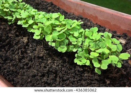 Fresh arugula plants sprouting in garden planter. - stock photo