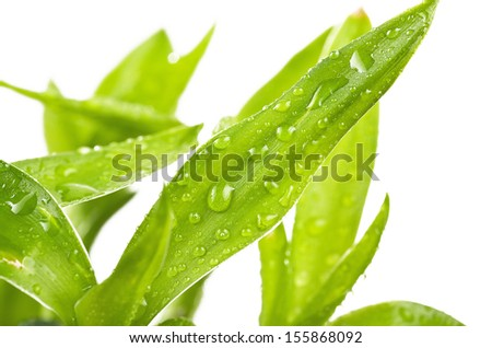Fresh Bamboo with drops on white background - stock photo