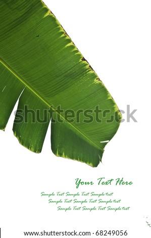Fresh Banana Leaf Isolated on white - stock photo