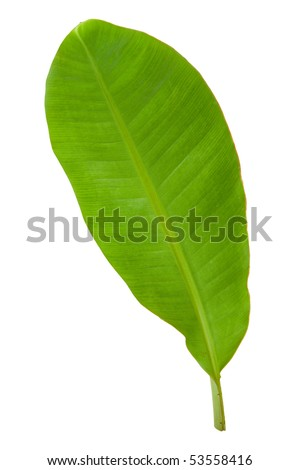 Fresh Banana Leaf Isolated with Clipping Path 3 - stock photo