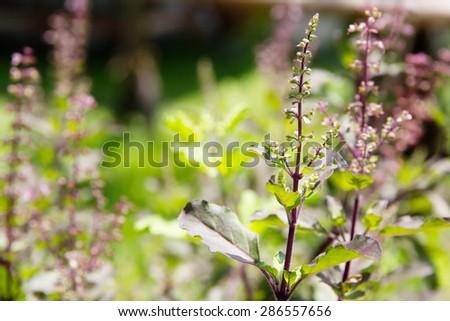 Fresh basil flower plant close up - stock photo