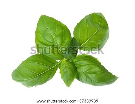 Fresh basil isolated on white background - stock photo