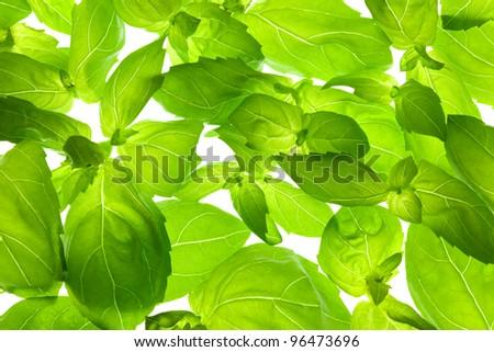 Fresh Basil Leaves close-up background / back-lit - stock photo