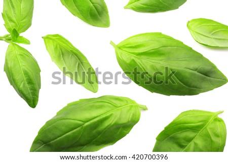 Fresh basil leaves group isolated on white - stock photo
