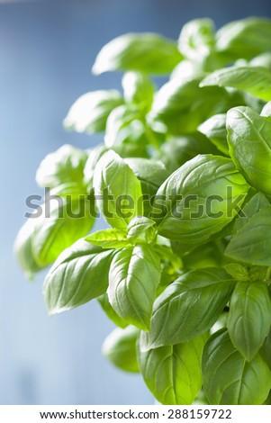 fresh basil leaves herb background - stock photo