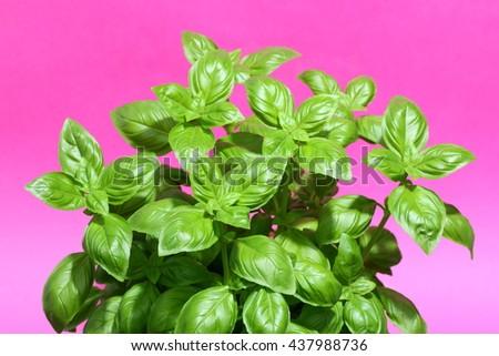 Fresh basil plant on pink background - stock photo