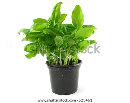 Fresh basil ready to be used as ingredient