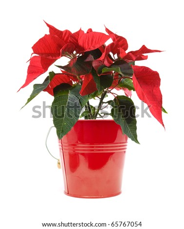 fresh beautiful green and red poinsettia (Euphorbia pulcherrima); plant isolated on white background; - stock photo