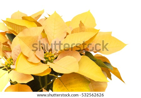 fresh beautiful yellow and orange poinsettia isolated on white background