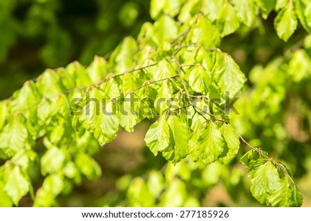 Fresh beech (Fagus sylvatica) leaves in early spring. Sunlight reflect from leaf surface. Lovely green color. Shallow dof, natural light. - stock photo