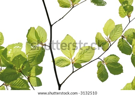 fresh beech tree foliage isolated on white - stock photo