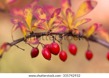 Fresh berries of berberis on the branch in the end of October - stock photo