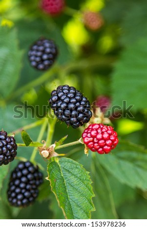 Fresh blackberries on a bush - stock photo