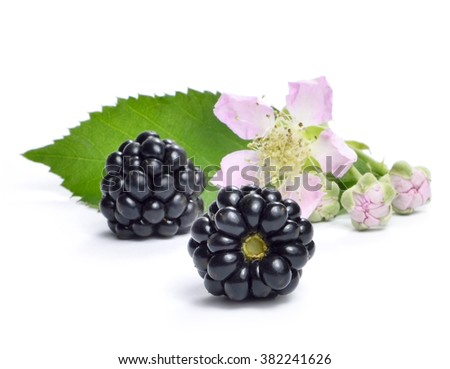 Fresh blackberry with flower and copy space. Ripe blackberries isolated on white background.