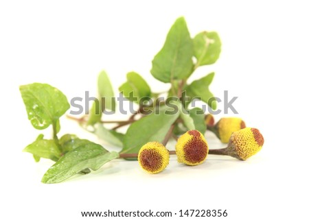 fresh blooming Paracress on a bright background - stock photo