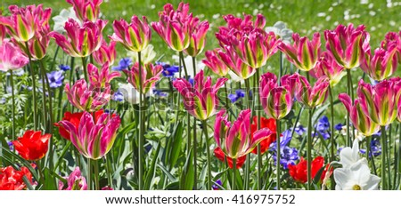 Fresh blooming tulips in the spring garden - stock photo