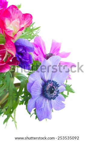 fresh blue and pink anemone flowers close up isolated on white background