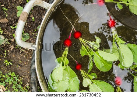 Fresh bright clean red radish with green haulm in a metal capacity with the clean water swiming and washing - stock photo