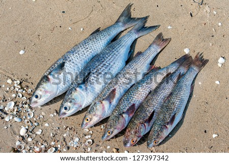 fresh brushed fish ready for cooking on a damp sand
