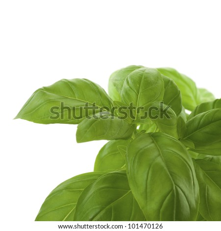 fresh bunch of basil decorative leaves, green border - stock photo
