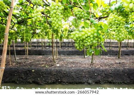 fresh bunch of green grapes on the field - stock photo
