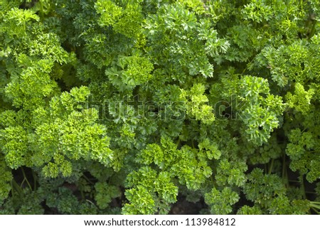 Fresh bunch of green parsley closeup - stock photo
