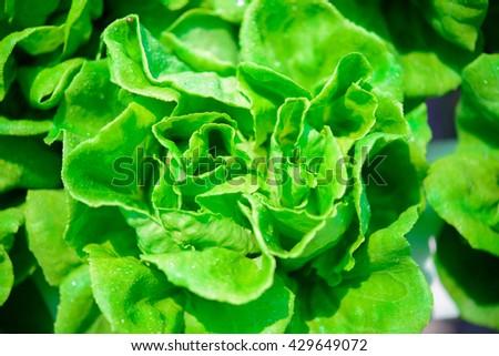 Fresh Butterhead Lettuce - stock photo