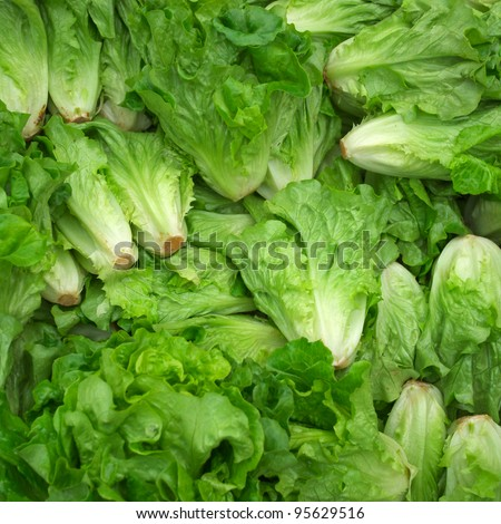 fresh butterhead lettuce background - stock photo