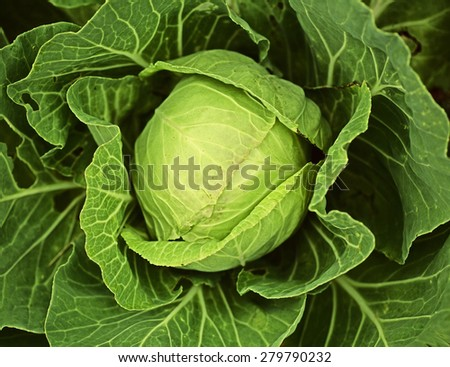 Fresh cabbage closeup - stock photo