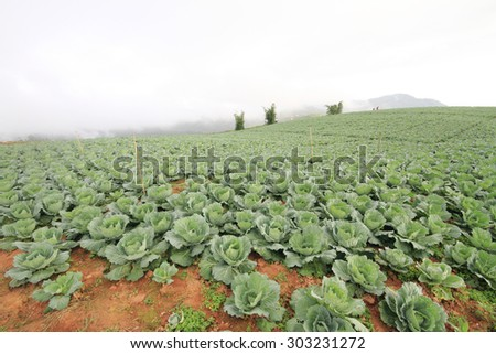 Fresh cabbage in the field and foggy in the air