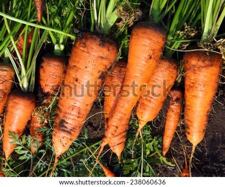 fresh carrot harvest on the ground - stock photo