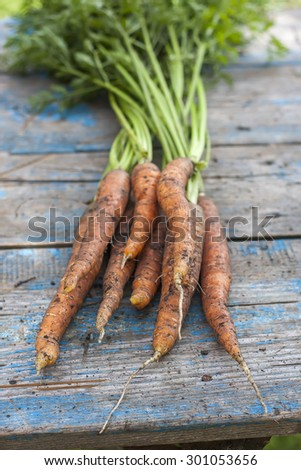 Fresh carrots with soil,  with tops on old wooden table, selective focus.  Natural day light. - stock photo